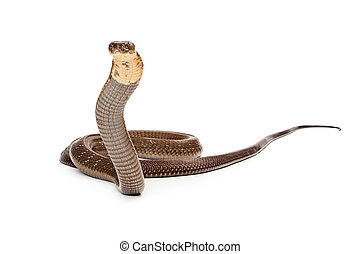 King cobra - The world's longest venomous snake. Commonly found in the forests of India and Southeast Asia. Isolated on white. Looking to side.