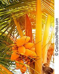 King coco palm sun coconut tree - King coco sunset coconut ...