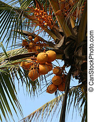 King coconut crop - King coconuts of various sizes growing ...
