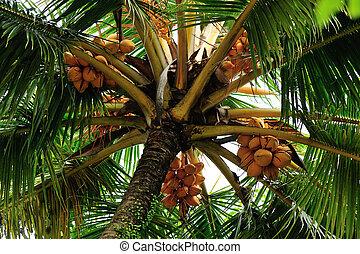 king coconut fruits grow on tree