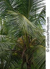 King Coconut Tree. Coconut tree closeup with fruits. ...