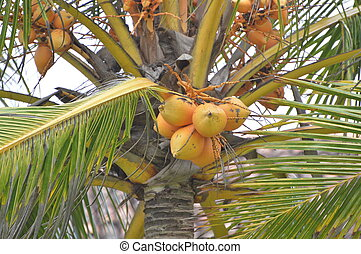 King Coconut Tree - Top of the King Coconut tree
