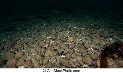 King crabs and sea scallop underwater on seabed of...