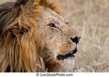 King Male Lion Portrait in Masai Mara, Kenya