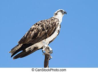 King of Birds