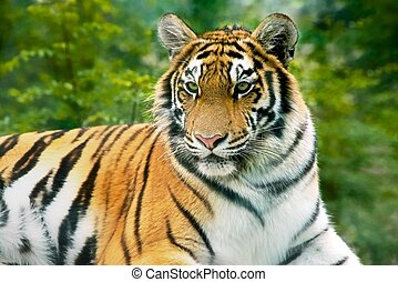 King of Taiga. - Beautiful tiger shows a close-up on a...