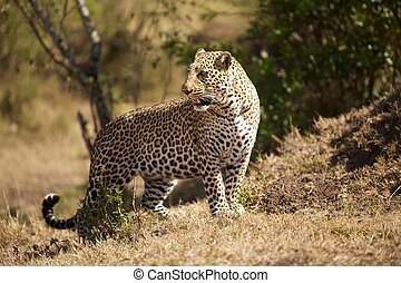 King of the hill: leopard