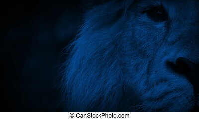 King Of The Jungle Lion Looks Up At Night