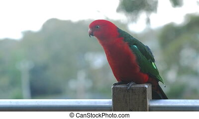 King Parrot - Male Australian King Parrot bird with vibrant...