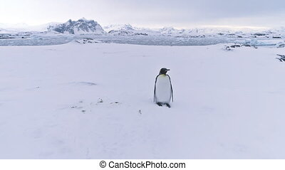 King penguin. Antarctic landscape. Aerial flight. - Penguin...