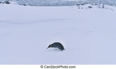 King penguin antarctica winter wildlife landscape