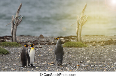 King Penguin (Aptenodytes patagonicus) on a beach in Royal Bay, A penguin colony in Antarctica
