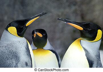 King Penguin - Aptenodytes Patagonicus - Three King Penguins...