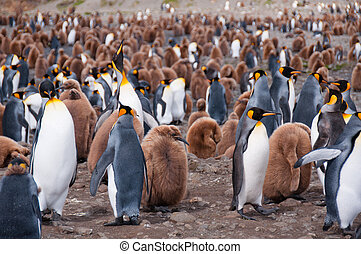 King Penguin Colony - Thousands of king penguins with their...