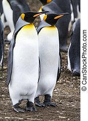 King Penguin - Couple Dreaming
