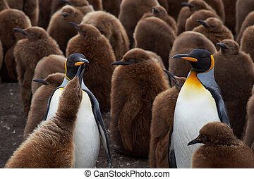 King Penguin Creche - Adult King Penguins (Aptenodytes...