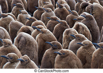 King Penguin Creche - Large group of King Penguin...