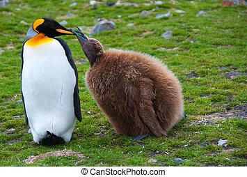 King Penguin Feeding Chick - A King Penguin mother feeds her...