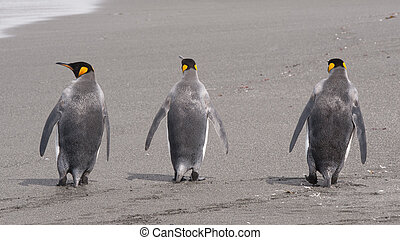 King penguin in South Georgia