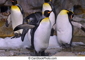 King Penguin - Photography of king penguin