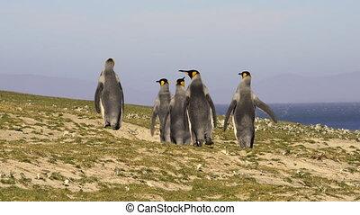 King Penguins at Falkland Island - King Penguins walk on the...