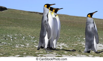King Penguins at Falkland Island - King Penguins walk on the...