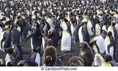 King Penguins at South Georgia - King Penguins colony at...