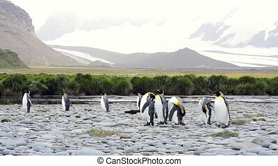 King Penguins at South Georgia - King Penguins walk on the...