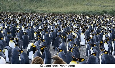 King Penguins at South Georgia - King Penguins walk on the...