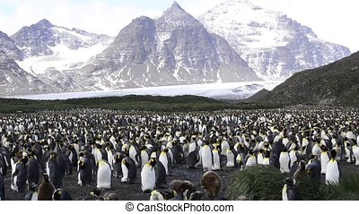 King Penguins at South Georgia - King Penguins colony at...