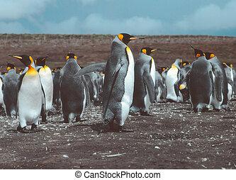 King Penguins at Volunteer Point, Falkland Islands ( Islas Malvinas), film photography