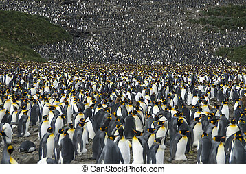 King penguins colony at South Georgia - Huge King penguins...