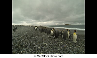 King Penguins colony on the beach - King Penguins on the...