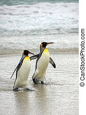 King Penguins (Aptenodytes patagonicus) at Volunteer Point in the Falkland Islands (Islas Malvinas).
