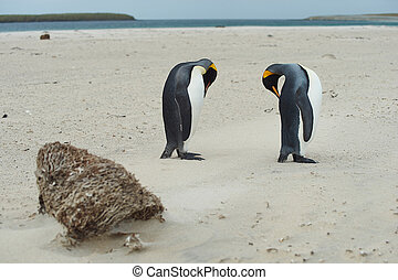 King Penguins (Aptenodytes patagonicus) preening their magnificent plumage on a sandy beach on Bleaker Island in the Falkland Islands.