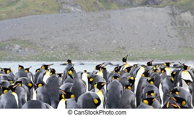 King Penguins with chick at Solsbary Plane South Georgia
