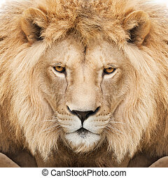 King - Portrait of beautiful and strong lion