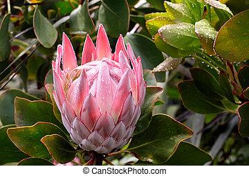 King Protea blossom (Protea cynaroides) near Cape Foulwind, Region West Coast, New Zealand