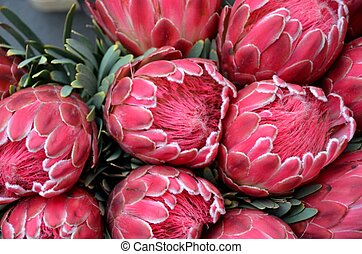 King Proteas at the market in Antwerp.