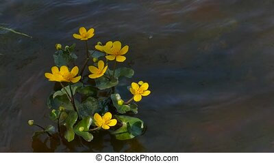 Kingcup Marsh-marigold in a river stream - Kingcup Marsh-...
