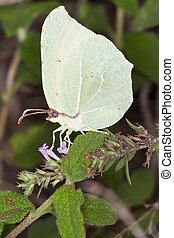 Gonepteryx - Kingdom: Animalia Phylum: Arthropoda Class:...