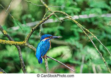 kingfisher (alcedo atthis) in natural habitat. Danube Delta, Romania