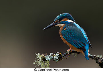 Kingfisher (Alcedo atthis) - Kingfisher perched on lichen...