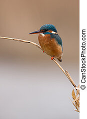 Kingfisher (Alcedo atthis) - Kingfisher perched on thin reed