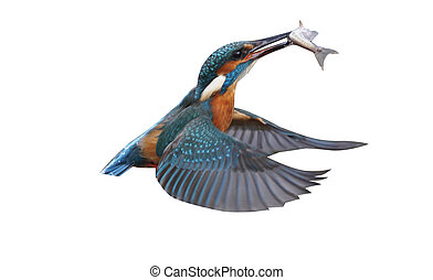 Kingfisher, Alcedo atthis, Single bird diving for fish,...