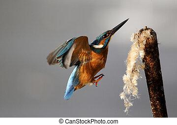 Kingfisher, Alcedo atthis, Single bird landing on reed head...