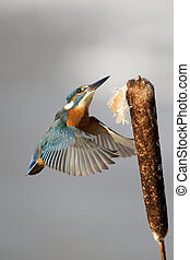 Kingfisher, Alcedo atthis, Single bird landing on reed head,...