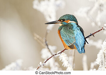 Kingfisher, Alcedo atthis, Single bird on frosty perch,...