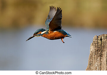 Kingfisher, Alcedo atthis, single bird in flight, Midlands,...