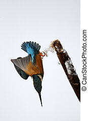 Kingfisher, Alcedo atthis, Single bird diving from reed...